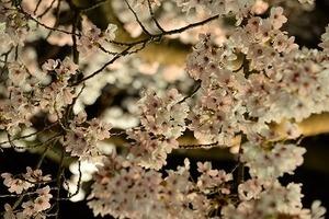 20210405夜桜 (11).jpg