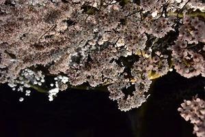 20210405夜桜 (7).jpg