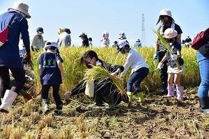 田んぼアート稲刈り (15).jpg